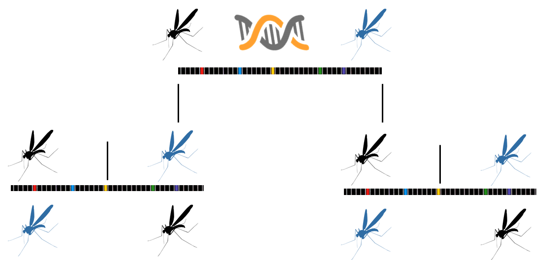 mosquito gene drive sequence